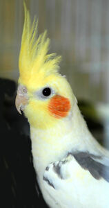 ❤❤ Extremely Friendly COCKATIEL Babies With CAGE ❤❤ Kitchener / Waterloo Kitchener Area image 1
