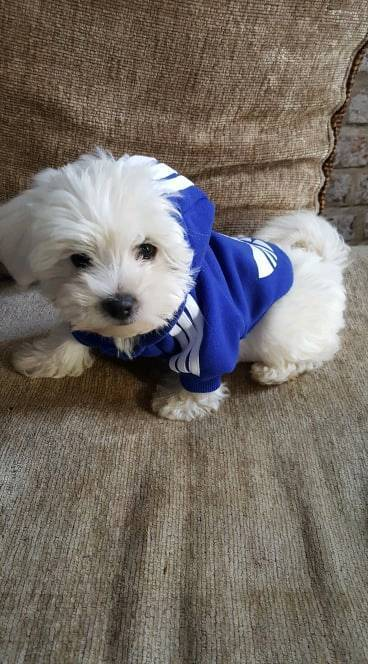 Pure White Pedigree Maltese Puppies for sale | in Wellingborough,  Northamptonshire | Gumtree