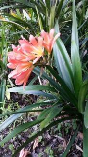 Clivias For  Sale Sutherland Sutherland Area Preview