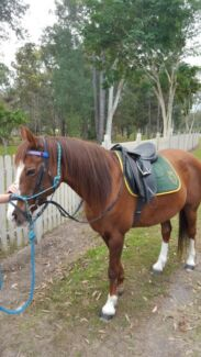 For sale beautiful liver chestnut pony, $3-500 neg Peregian Beach Noosa Area Preview