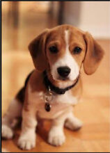 Beagle puppy - WANTED in Perth Southern River Gosnells Area Preview