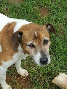 Adult Female  - Jack Russell Terrier