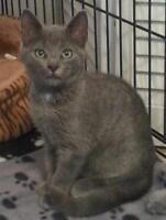 """Young Female Cat - Domestic Short Hair-gray: """"Marge"""""""