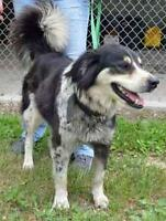 "Adult Female Dog - Border Collie: ""Diamond"""