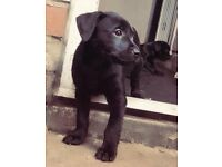 Jackador Puppies for sale