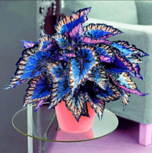 Coleus 100 Pcs Seeds Flower Rare 4 Kinds Color Perennial Bonsai Dragon Plant NEW