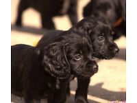 Beautiful Cocker Spaniel KC Registered Puppies