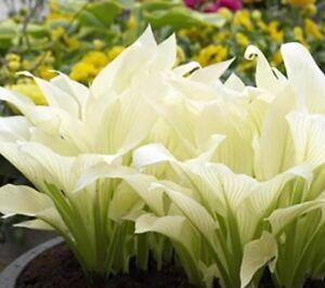 Hosta seeds ebay 20pcs hosta plantaginea fragrant plantain seeds fire and ice shade white lace mightylinksfo