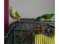 2 Conure parrots and cage