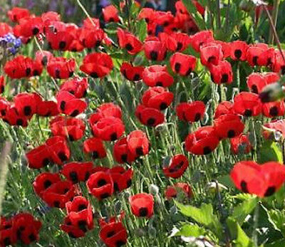 POPPY TURKISH TULIP✿2000 SEEDS✿Papaver glaucum✿TALL Red Flowers***COMBINE S/H*