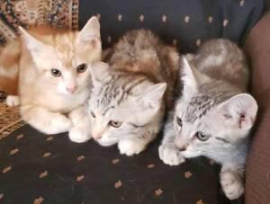 Ragdoll x kittens ready now