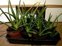 Aloe plants