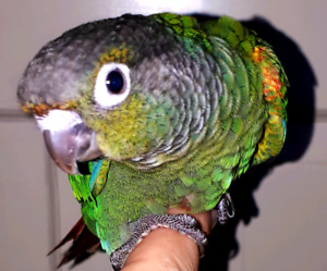 Pearl Conures - Baby Females