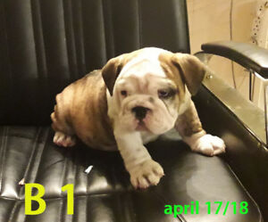CKC .  ENGLISH BULLDOG PUPPIES