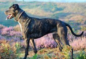 Alaunte Gentile 2 x Dog Pups for sale (running mastiff)