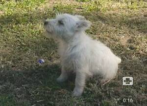 west highland terrier in Queensland | Dogs & Puppies | Gumtree