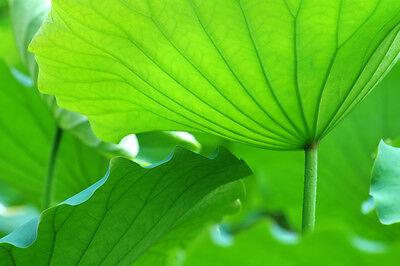 Großblättrige Pflanzen wie der Lotus brauchen besonders viel Wasser. (© Thinkstock via The Digitale)