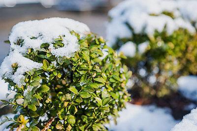 Der Buchsbaum braucht auch im Winter Wasser. (Foto: Thinkstock via The Digitale)