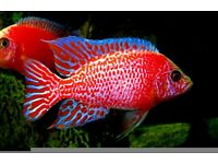 Malawi Cichlids, Various types available - Peacocks and Haps