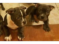 American Bully pupps
