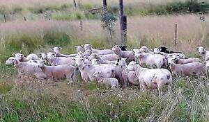Dorper Lambs Nullamanna Inverell Area Preview