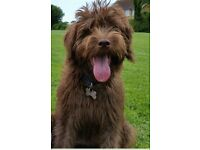 Labradoodle x Tibetan 6 months old SORRY SOLD