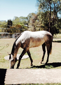 Horse for sale Gympie Gympie Area Preview