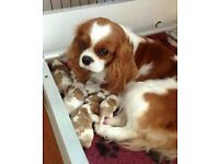 Beautiful litter of KC registered cavalier king Charles spaniel puppies