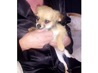 Long coat baby girl chihuahua