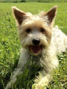 Young Female  - Yorkshire Terrier Yorkie-Maltese