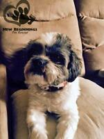 "Adult Male Dog - Shih Tzu-Lhasa Apso: ""Beethoven"""