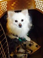"Adult Female Dog - Pomeranian: ""Zoey"""