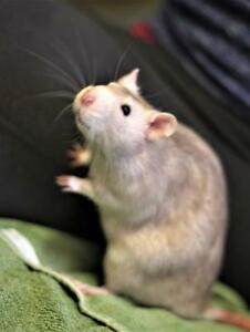 "Adult Male Small & Furry - Rat: ""Pistachio"""