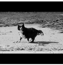 Border collie puppy (Purebred/female): seeking breeder Sutherland Sutherland Area Preview