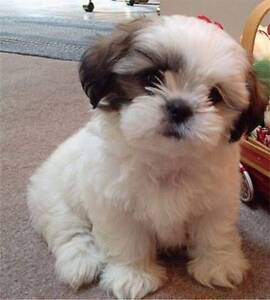 Wanting to buy Maltese pup female Narangba Caboolture Area Preview