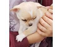 Tiny pedigree baby girl chihuahua