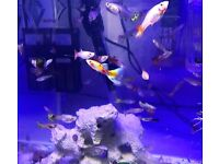 Guppy tropical fishes mixed colours*Home Delivery*