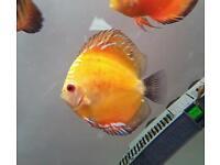 Yellow melon discus fish