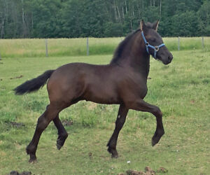 Purebred Black Friesian Weanling Colt- Baroque Style