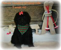 Standard Goldendoodle ! 3 pups left !!