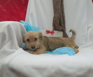 GORGEOUS (apartment size) SMALL CHORKIE PUPPIES