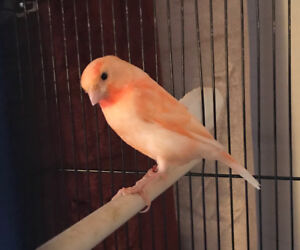 Red frosted singer canary
