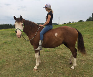 Cheval Curly 10 ans
