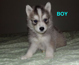 SIBERIAN HUSKY PUPPIES - GREAT FAMILY PET :)