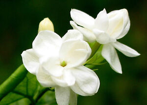 (2) Arabian Tea Jasmine Plant - Maid of Orleans Jasminum Sambac Fragrant