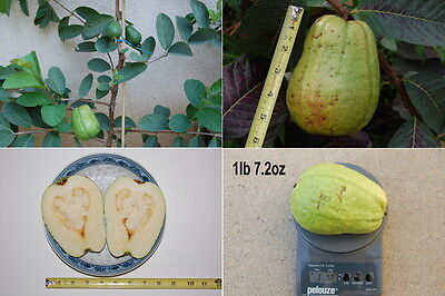 LARGE WHITE GUAVA SEEDS, 20 seeds,  on Rummage
