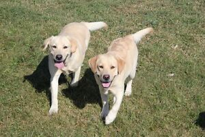 Starstruck Labradors - Health Tested Labs for Guardian Homes!