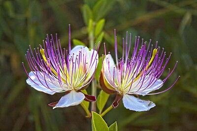 ALCAPARRA (capparis spinosa) 300 semillas/ SEEDS