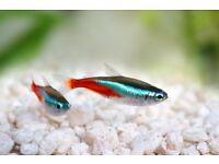 Neon Tetra Paracheirodon innesi Live Aquarium community fish