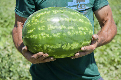 Watermelon Seeds UZBEK 2 organic seeds non gmo 10 seeds Ukraine D Farmer idea - Watermelon Ideas